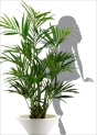 kentia-palm-lux-x-2-2